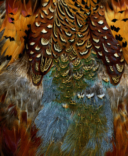 Ring-Necked Pheasant Skin